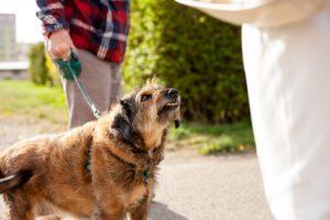 Aggressive dog attacking stranger.